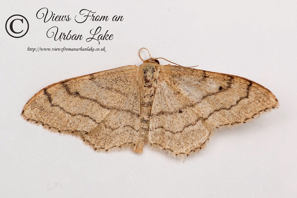 Riband Wave (I think although seemed smaller and different)