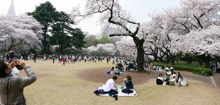 Tokyo Japan Sakura cherry blossom