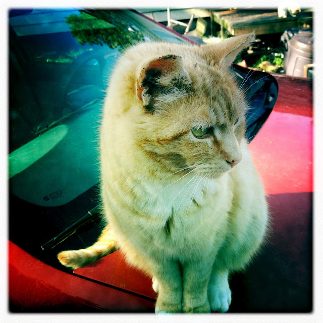 Hipstamatic cat photo, Coppertop the orange ginger tuxedo feral cat