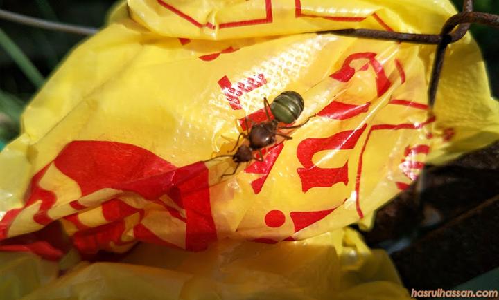 Green Treen Ant atau Weaver Ant