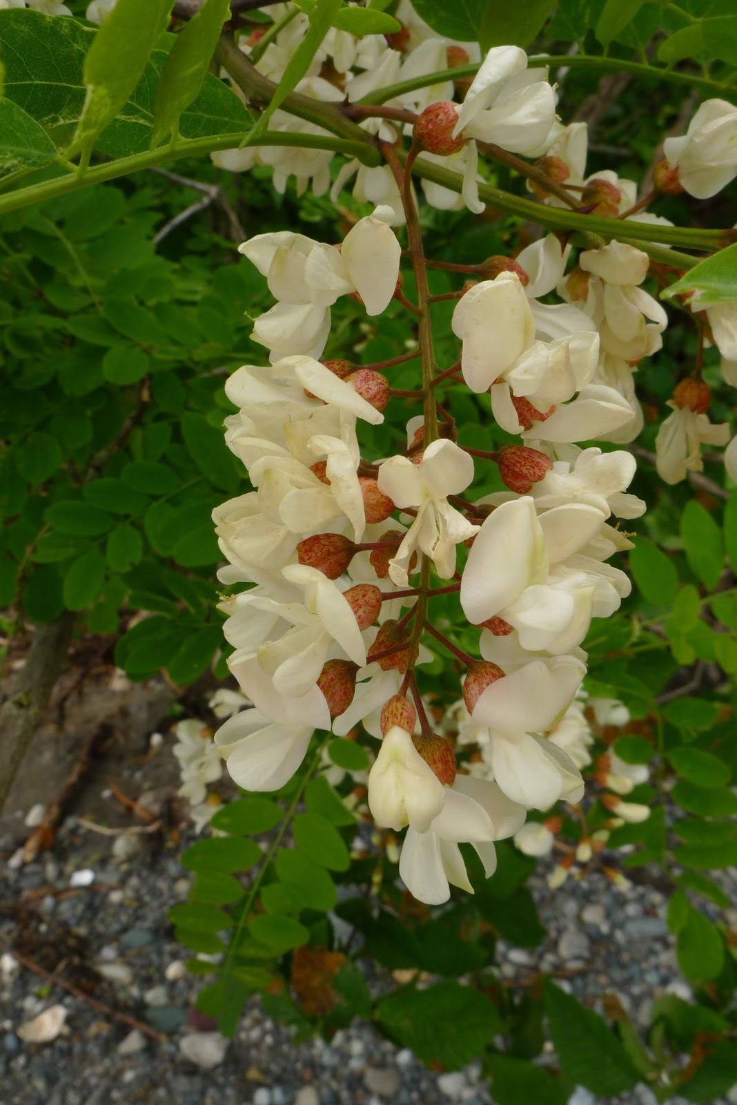 Wild Harvests Black Locust Flowers