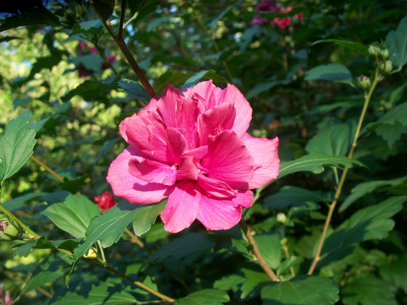 Garden Beauty Althaea Hibiscus Or Rose Of Sharon