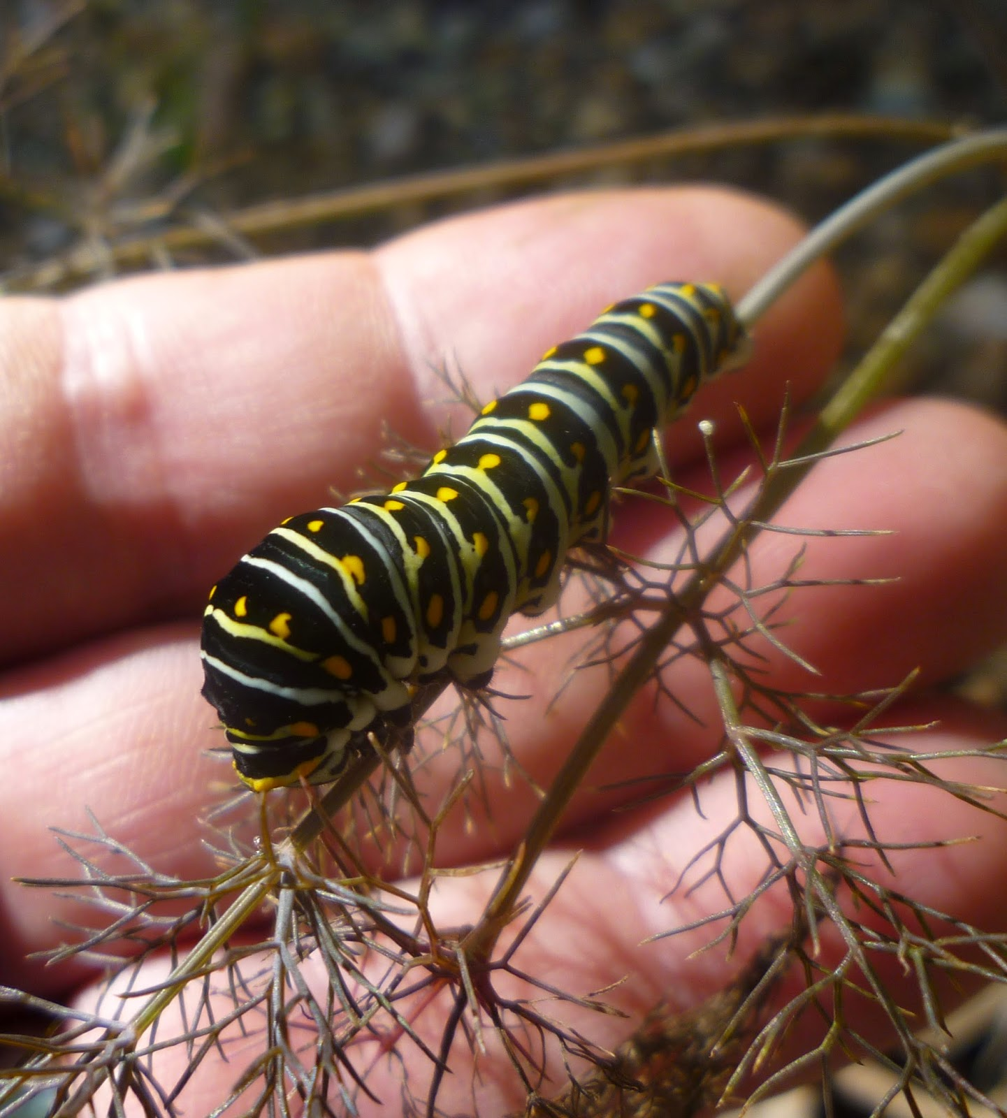 From Bluebirds to Turtles: Black Swallowtail Caterpillars ...