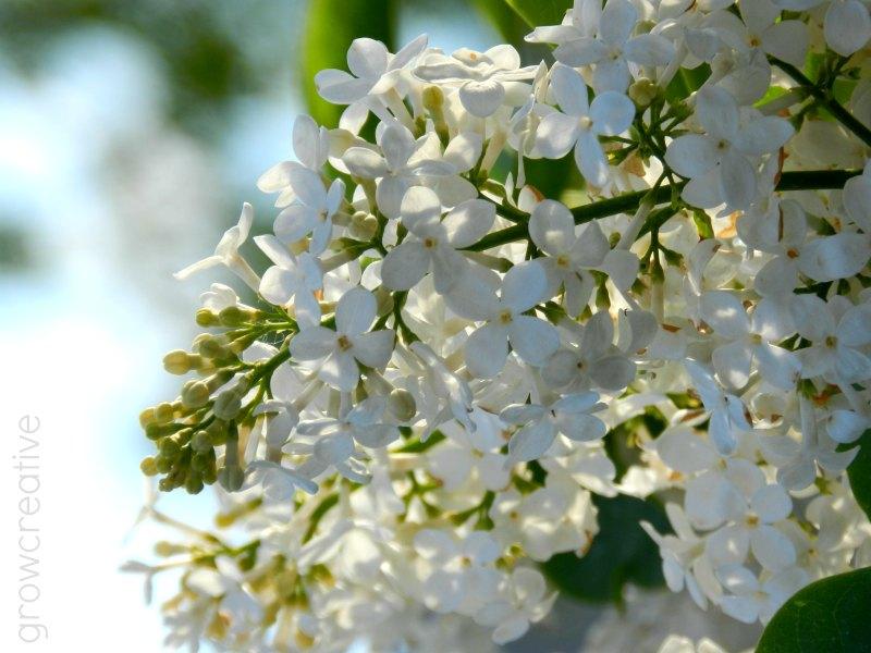 White Spring Lilacs: Elise Engh
