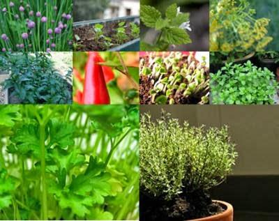 #Plantas Aromáticas