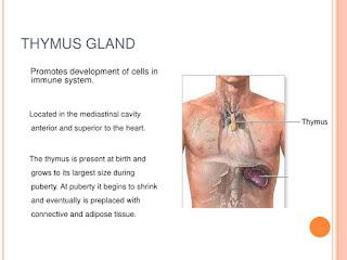 fungsi thymus