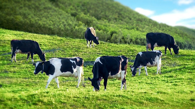 Dairy Farm - Special Destination of the Moc Chau plateau