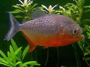 Piranha Caju ou Piranha Vermelha (Pygocentrus nattereri)