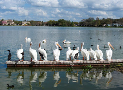A row of pelicans on the wooden jetty at Lake Morton, Lakeland, Florida.