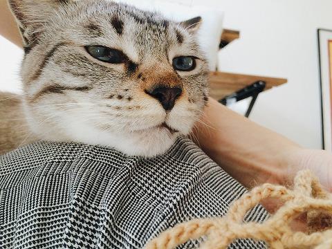 眠そうな顔のシャムトラ猫