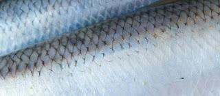 Pate lightly salted herring