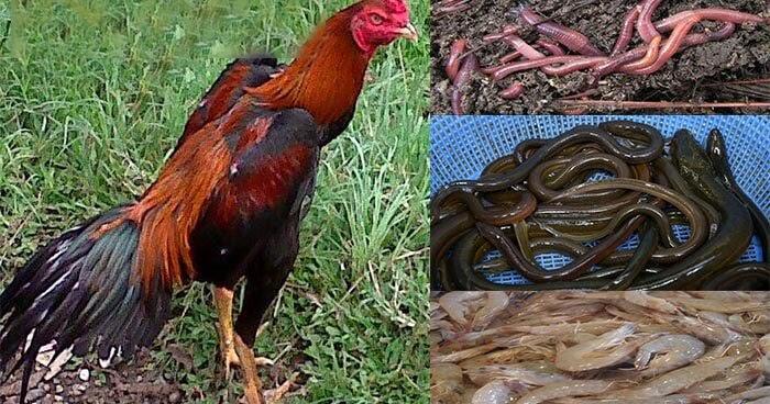 Jenis-Jenis Makanan Penambah Kekuatan Ayam Aduan - Club ...