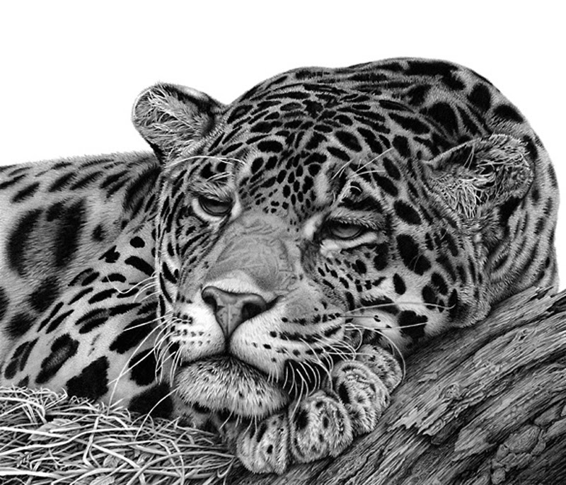 animal realistic drawing drawings hyper jaguar animals pencil wildlife hyperrealistic realistische david dancey draw leopard bleistiftzeichnungen believe thought drawn endangered
