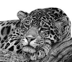 animal drawings realistic drawing pencil hyper jaguar animals david dancey wildlife realistische bleistiftzeichnungen artists hyperrealistic wood draw leopard believe thought