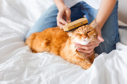 Brushing a ginger cat