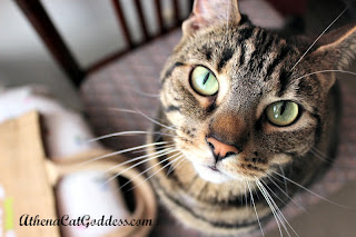 Green-eyed tabby cat