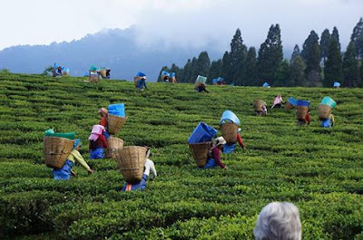 Minimum Wage Act in the tea gardens