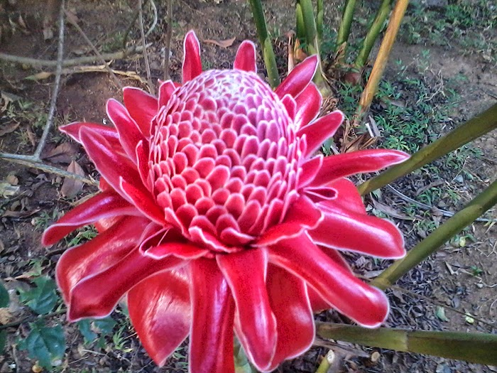 Torch Ginger - Land Lily - Etlingera Elatior