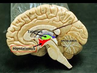 HORMON Yang Di Hasilkan HIPOTALAMUS