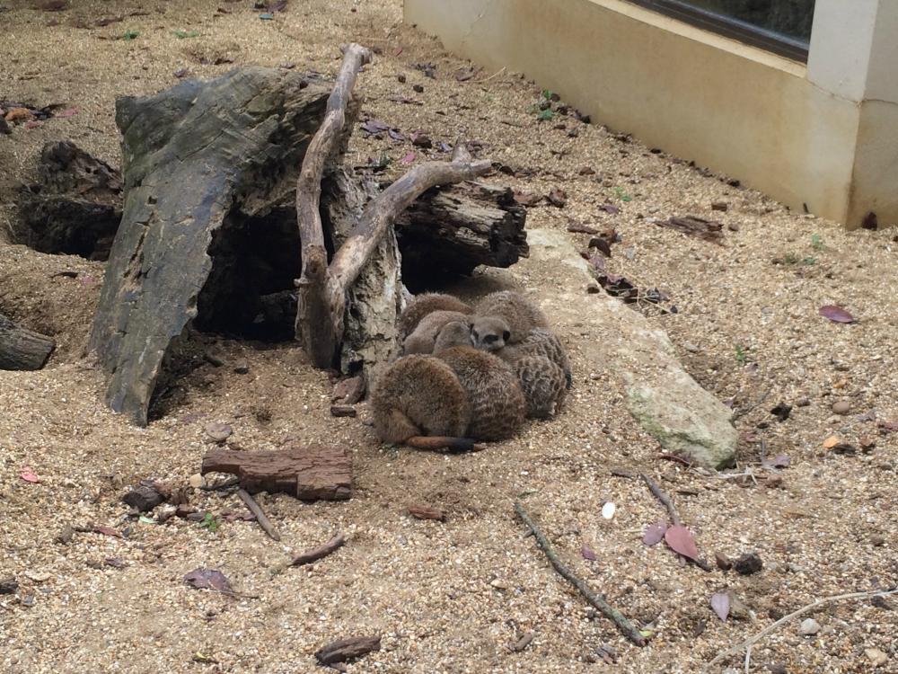 Marwell Zoo Meerkats