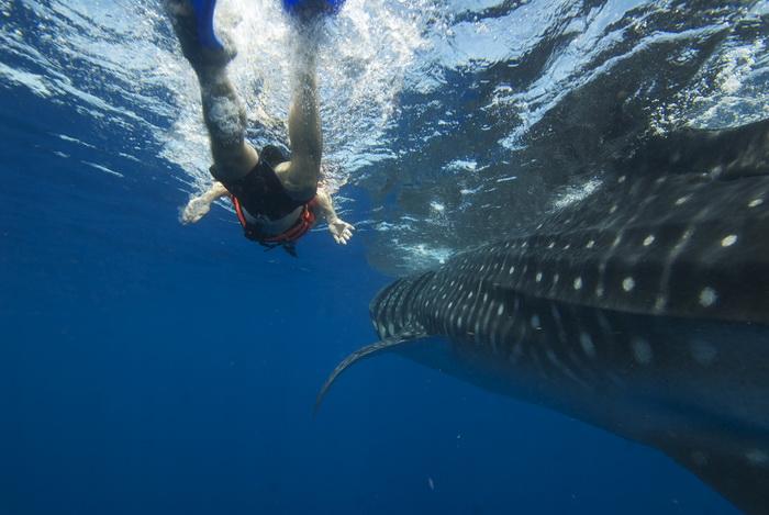 Nadando con tiburon Ballena