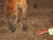 Tourists get this close to meat snacking hyenas outside walls of Harar (Ethiopia)