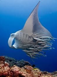 Ikan Hiu Dan Ikan Remora : remora, Gambar, Remora, Inspirasi, Terbaru!