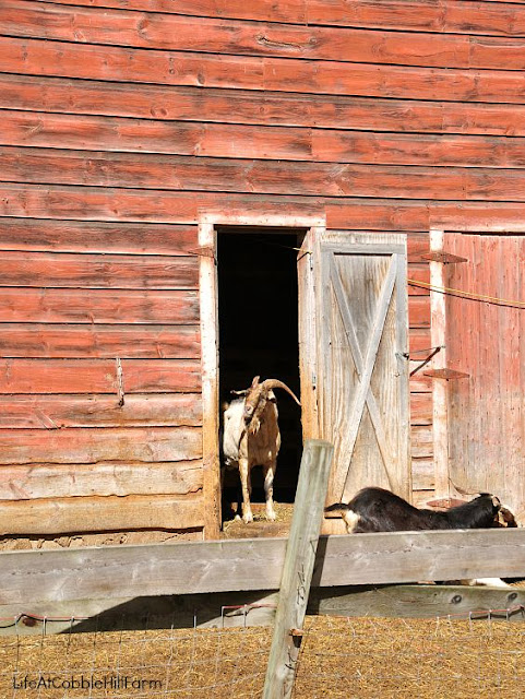 the goats of Nettle Meadow farm