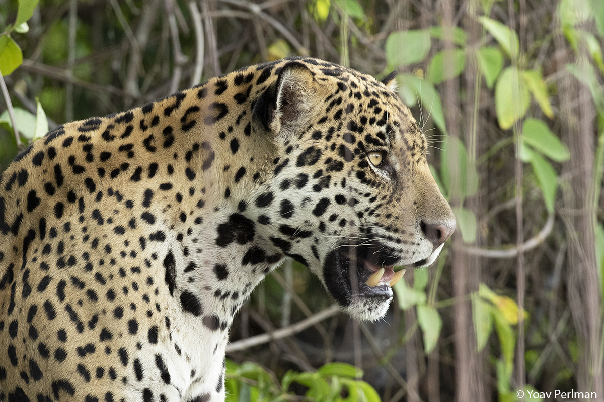 Jaguars of the Pantanal