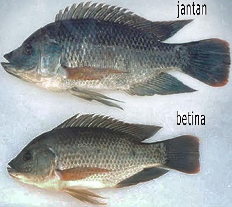 cara budidaya ikan nila agar cepat besar