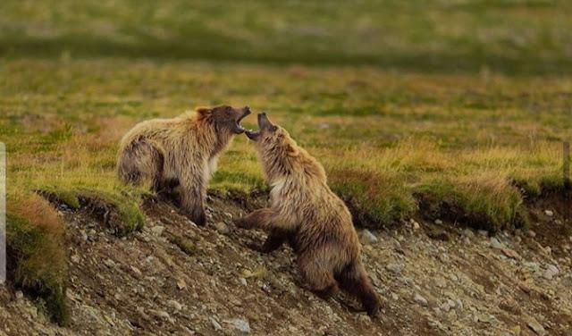 cara meracuni beruang supaya mati. ciri orang pendendam ada dibinatang beruang,