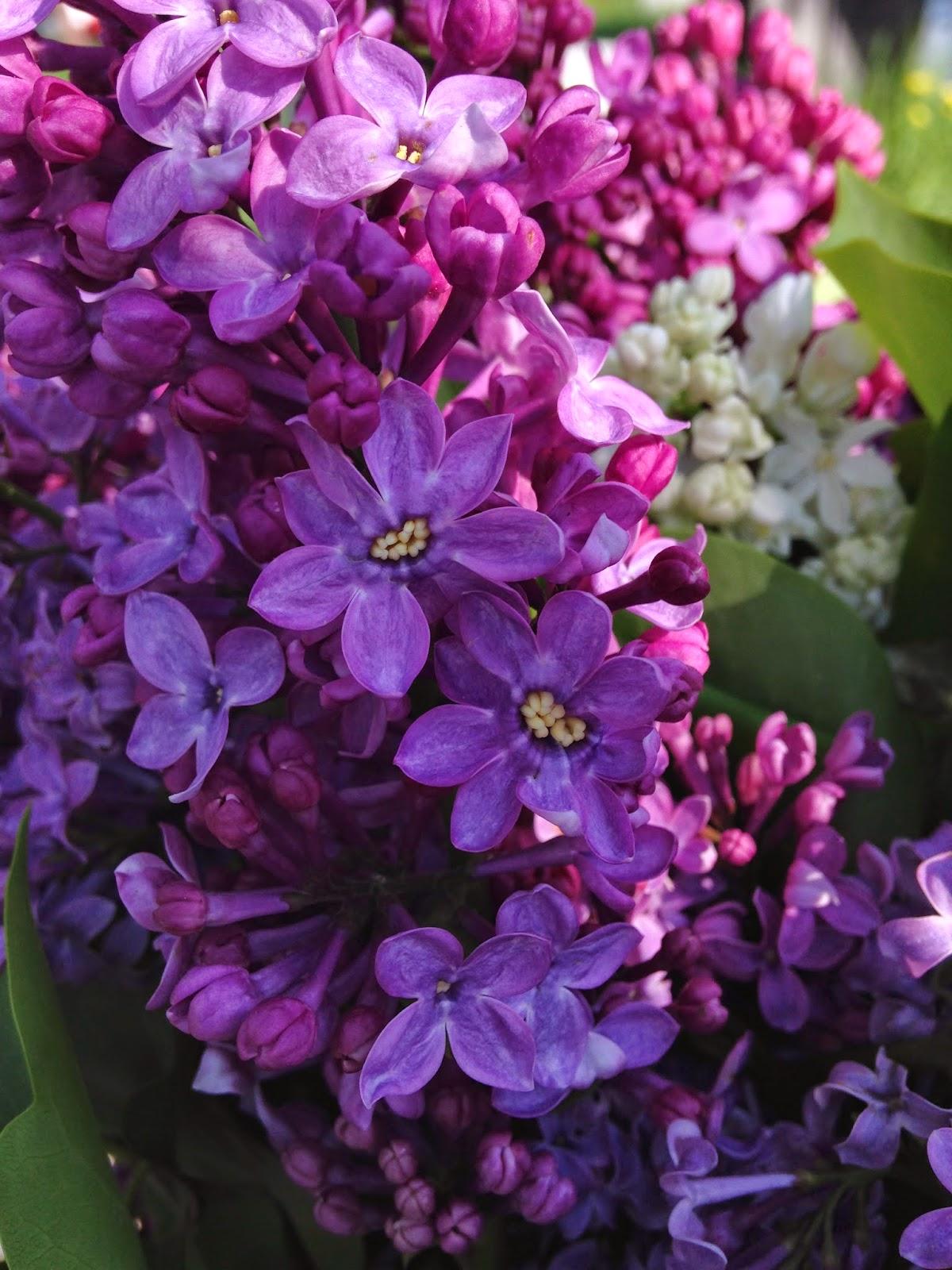 Сирень (Цветки на 8 и 9 лепестков)