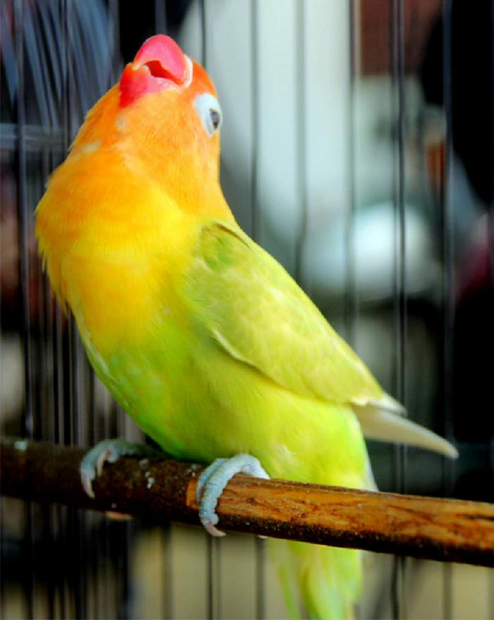Rahasia Juara Settingan Lovebird Paud Balibu Agar Rajin Ngekek Panjang Master Burung Petarung