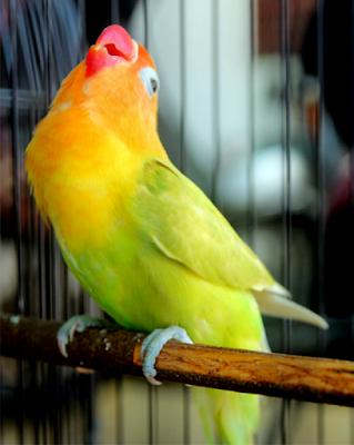 settingan lovebird paud balibu