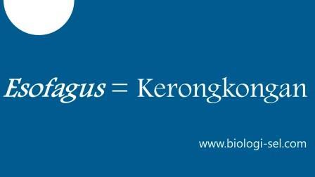 Esofagus adalah istilah lain dari kerongkongan