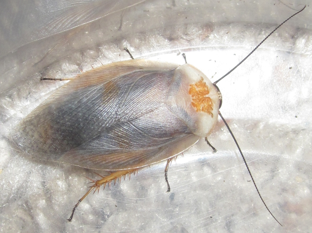 Hisserdude's Roaches - Page 2 G.caffrorum%25234