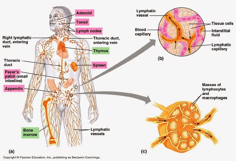 System Diagram Unlabeled as well Lymphatic System Lymph Nodes Diagram ...