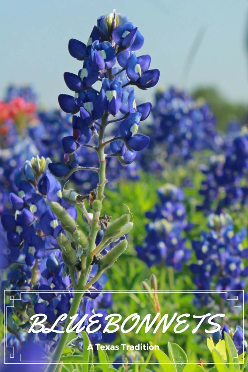 bluebonnets a texas tradition places i will go