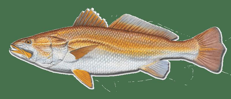 Pescada Amarela (Cynoscion acoupa)