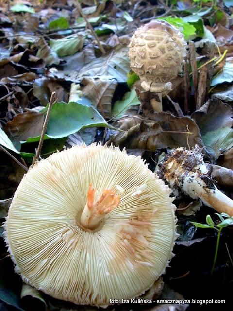 blaszki, spod kapelusza, kapelusz, czubajki, kumulatka, atlas grzybow, jaki to grzyb, czy to kania, grzybobranie