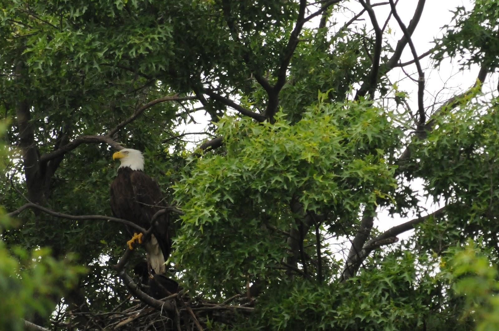 Wildlife photography: Fort Hunt Bald Eagles Nest