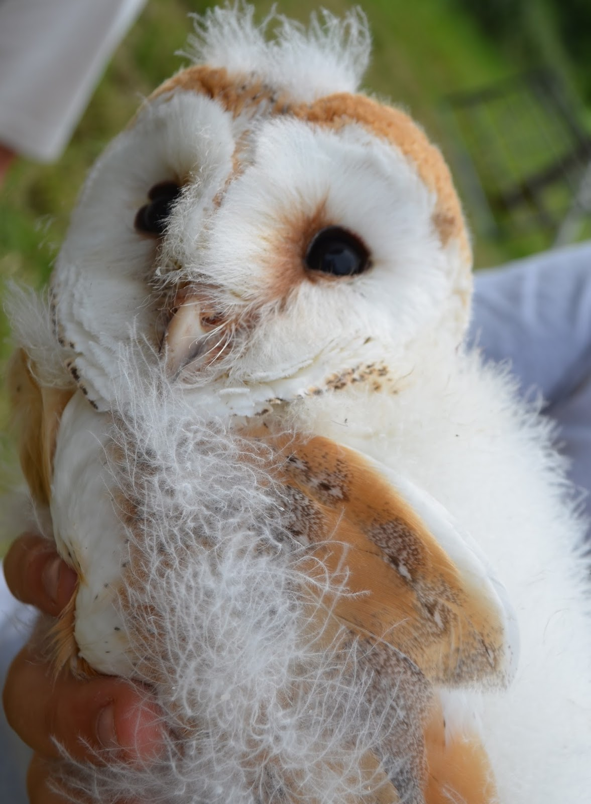 sustainable garden: baby barn owls ....