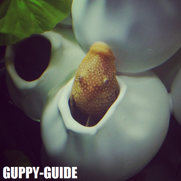 Guppy-Guide: Bristlenose Pleco - Diet