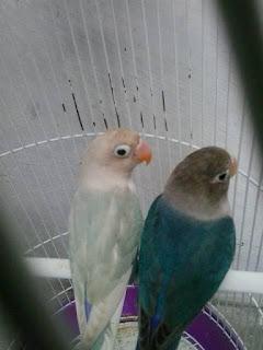 Cara Mengetahui Lovebird Berjodoh