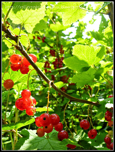 ripe redcurrant jewels