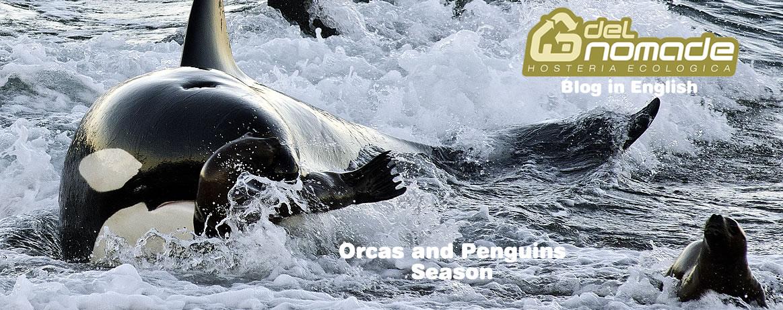 orcas in valdes peninsula