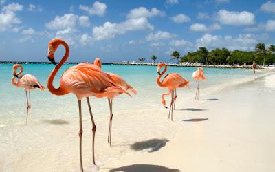Flamants roses sur la plage à Flamingo Beach