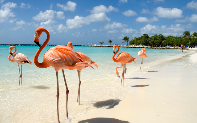 Flamants roses sur la plage à Flamingo Beach