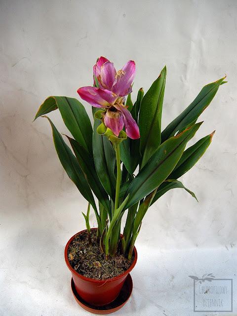 Kurkuma plamista, czyli ostryż plamisty, inaczej cytwarowy (Curcuma zedoaria) - zdjęcia, kwiaty, liście, uwagi