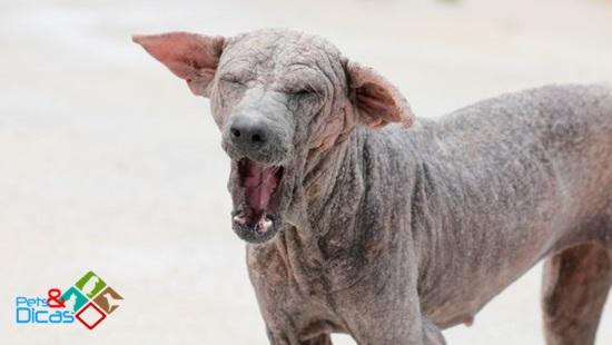 Cão com sarna negra
